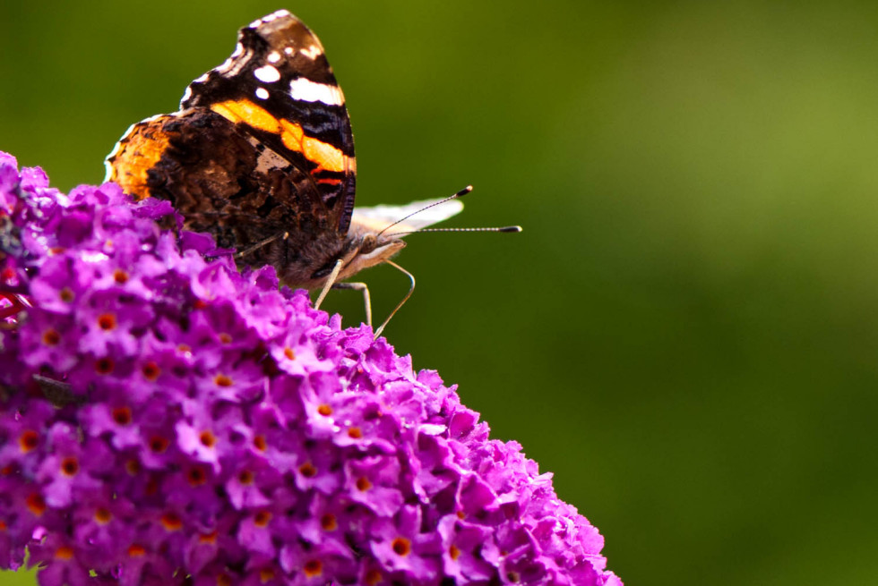 Red Admiral Butterfly – Vanessa atalanta