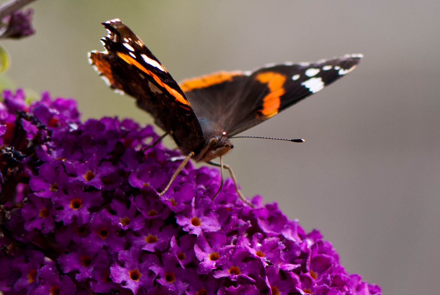 Red Admiral on Buddleia Vanessa atalanta