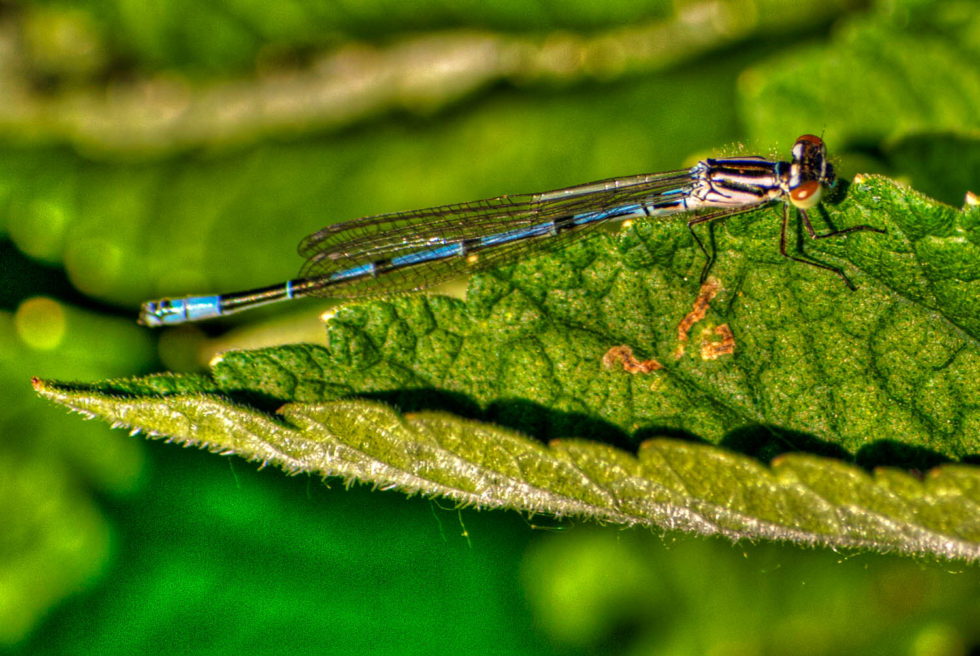 The Common Blue Damselfly
