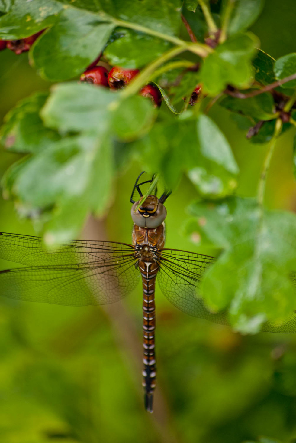 Migrant Hawker Dragonfly, Aeshna mixta