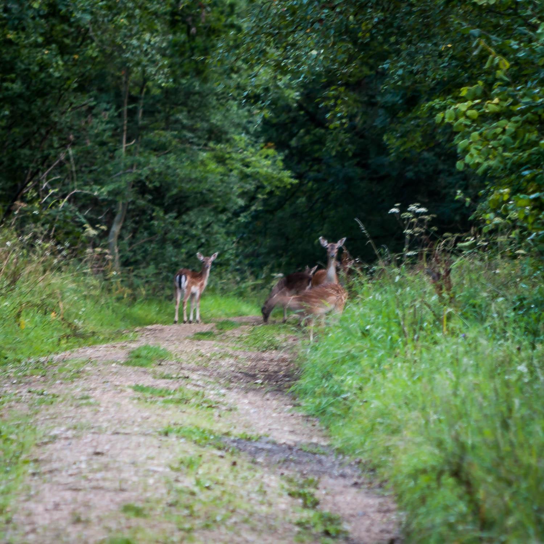 Fallow Deer in Rowney Wood