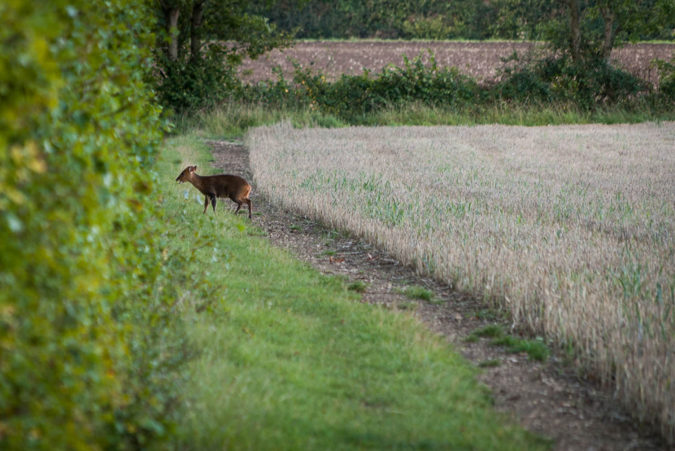 More Deer Action in Rowney Woods