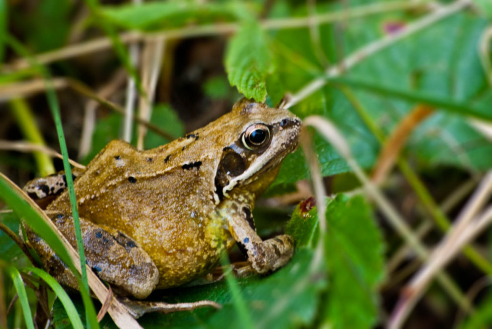 Common Frog – Rana temporaria – Rowney Woods