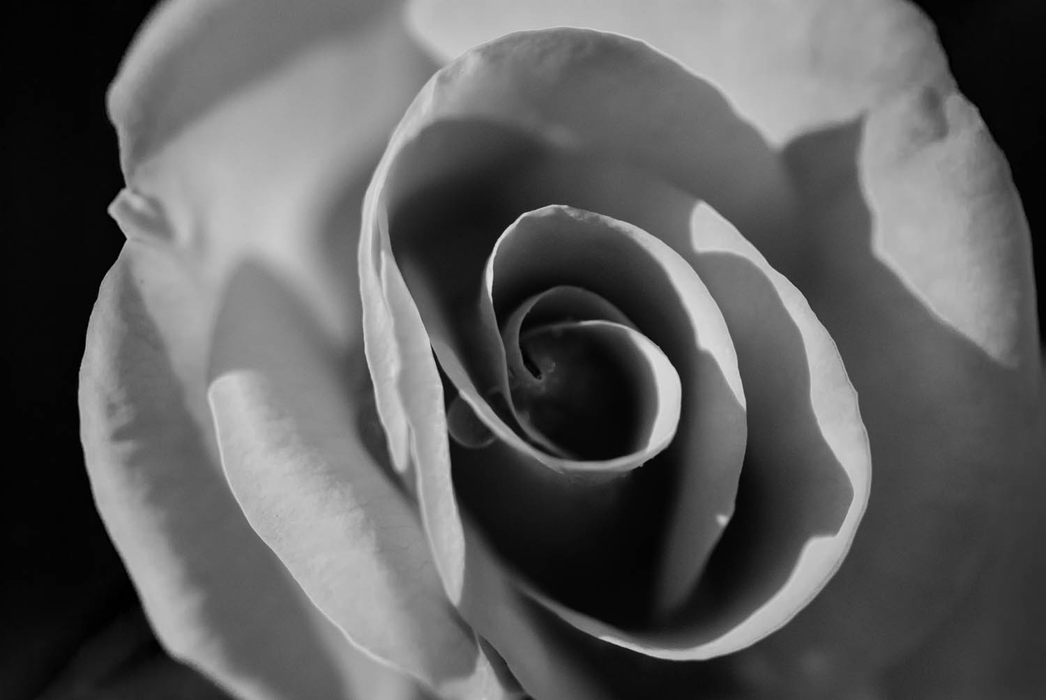 Orange rose Black and White