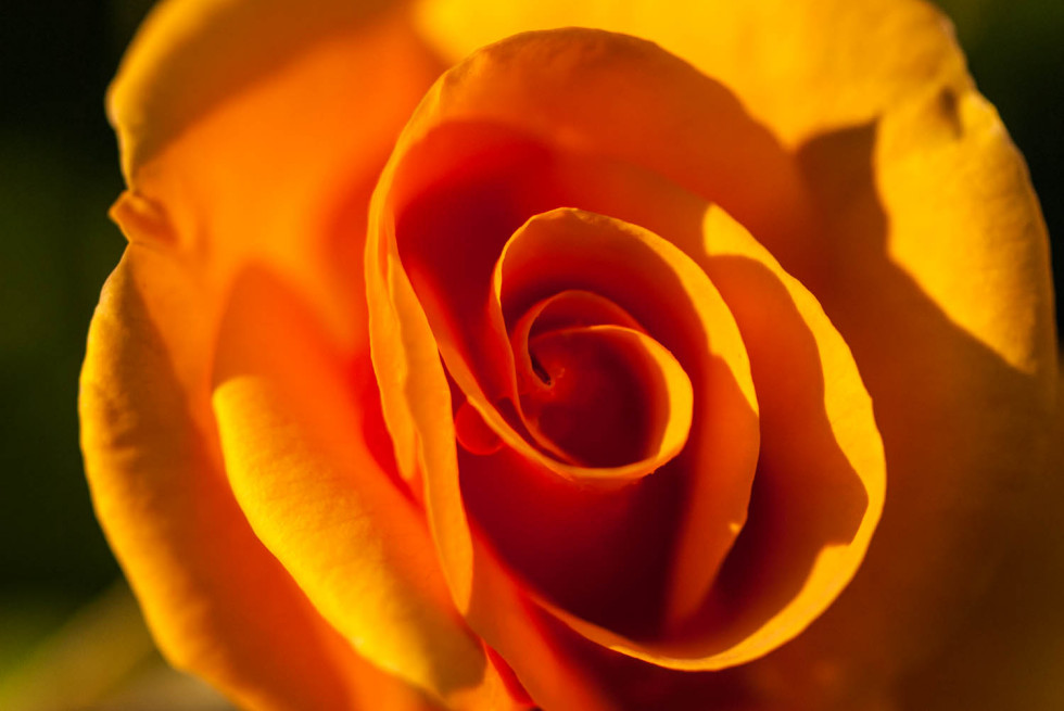 Orange Rose - Colour