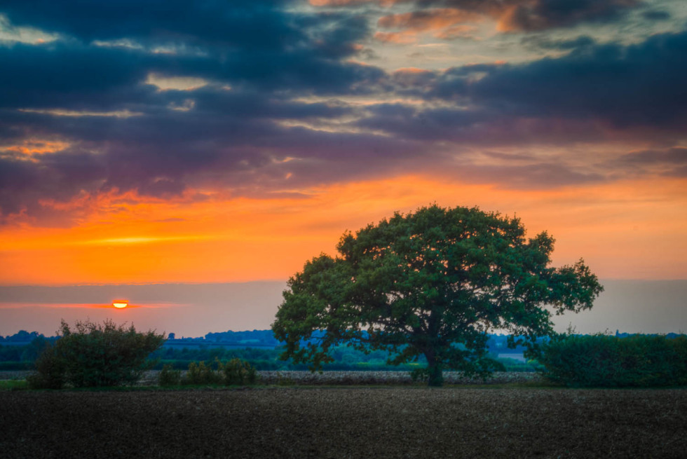 Oak Tree at Aythorpe Roding
