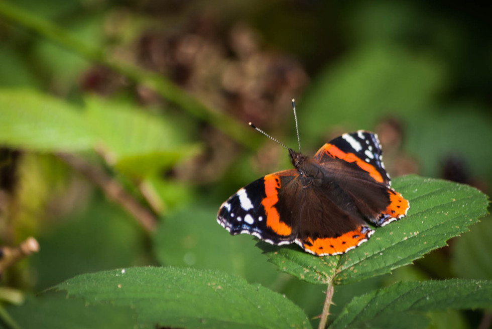 Red Admiral in Rowney Woods