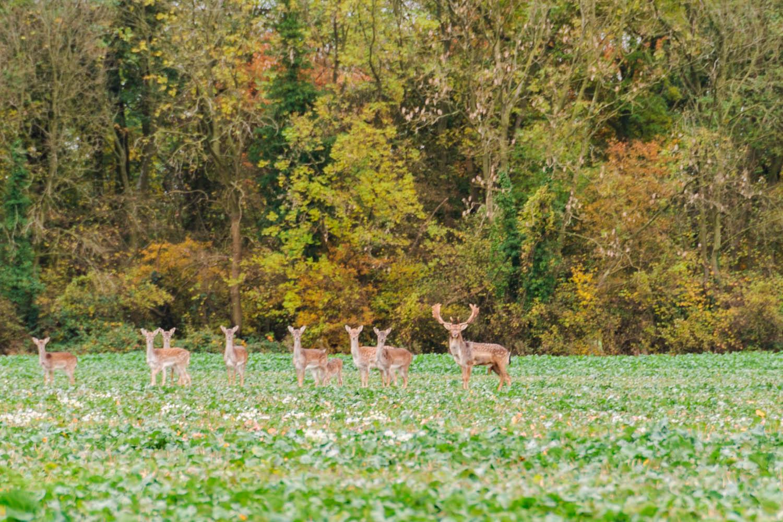 Fallow Deer in Rowney Woods