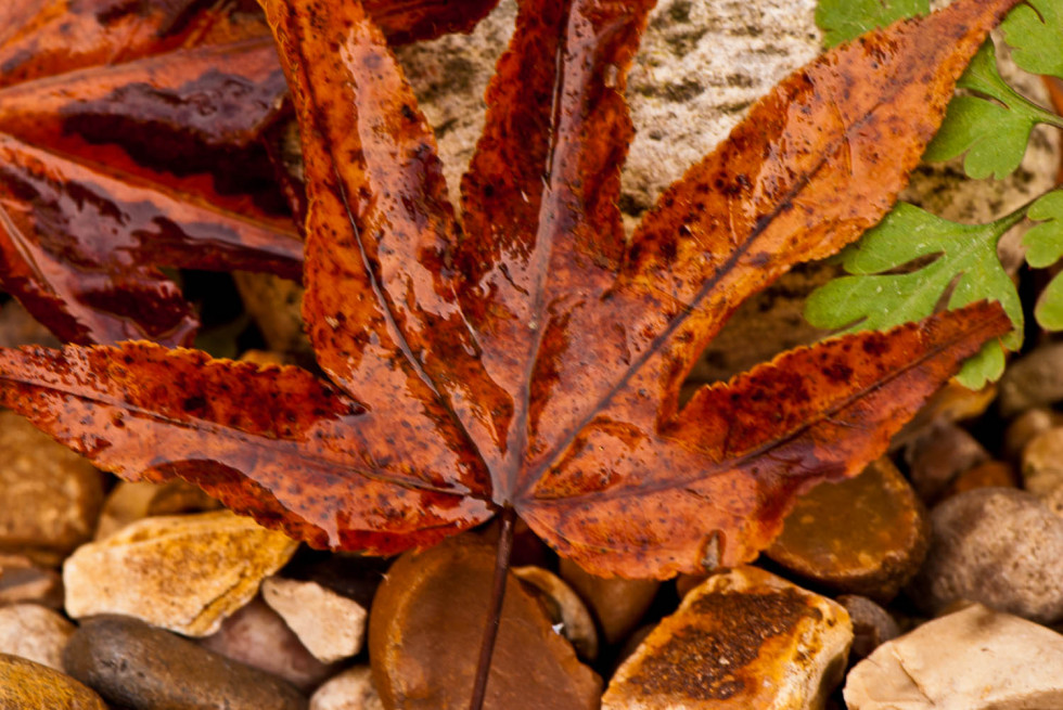 Wet red leaf on pebbles