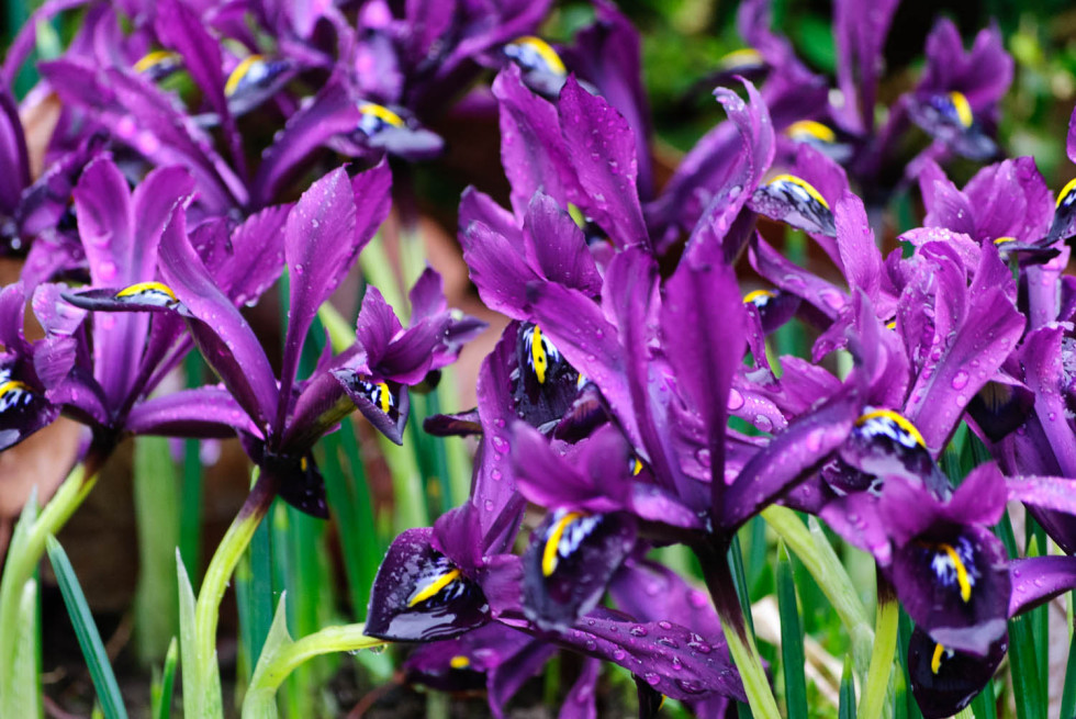 Reticulata Iris – The Gardens of Easton Lodge