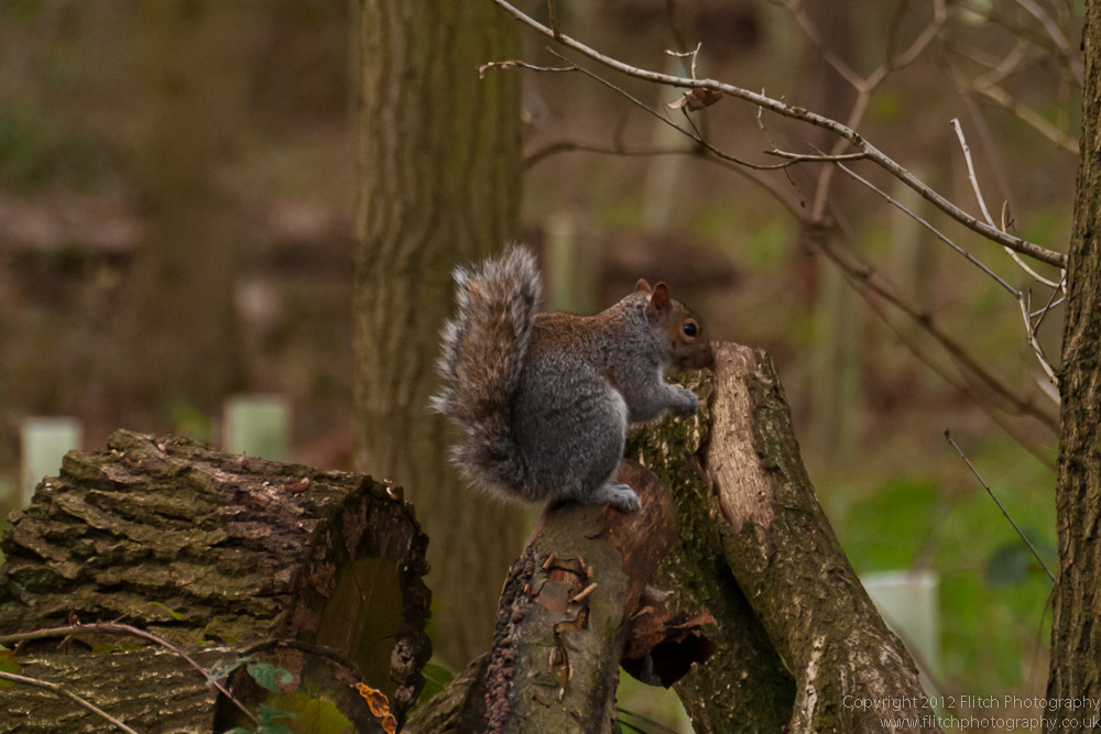 Squirrels of Hanningfield Reservoir