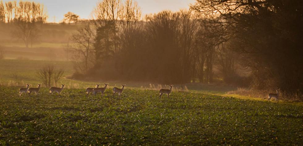 Deer entering Rowney Woods
