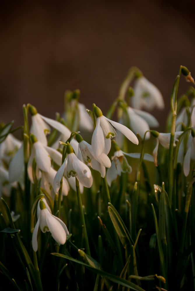 Snowdrops in Great Waltham