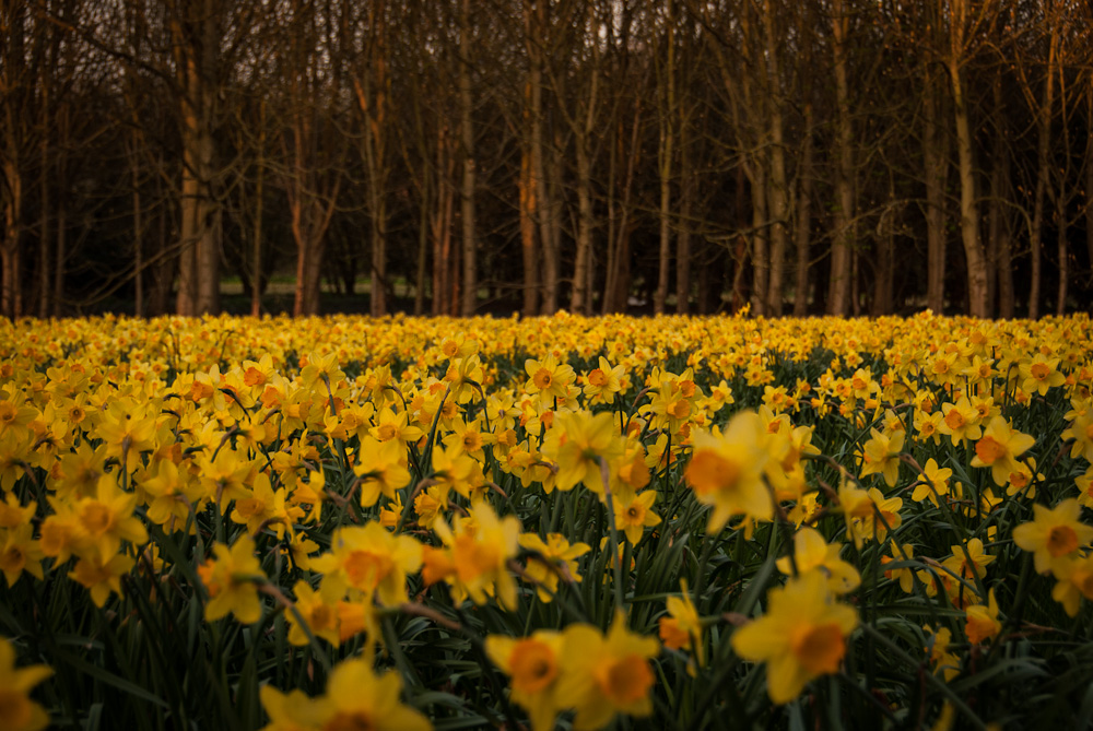 Dafs and Trees