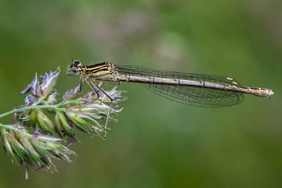 Winter Damselfly