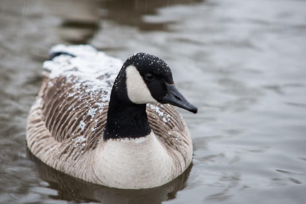 Snowy Goose