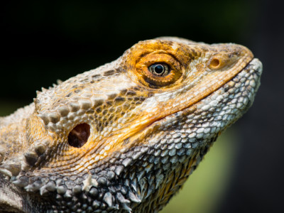 27/52 Bearded Dragon, Linton Zoo