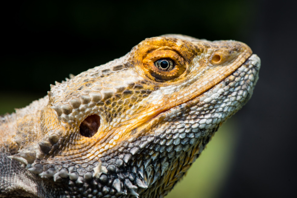 Bearded_Dragon,_Linton_Zoo