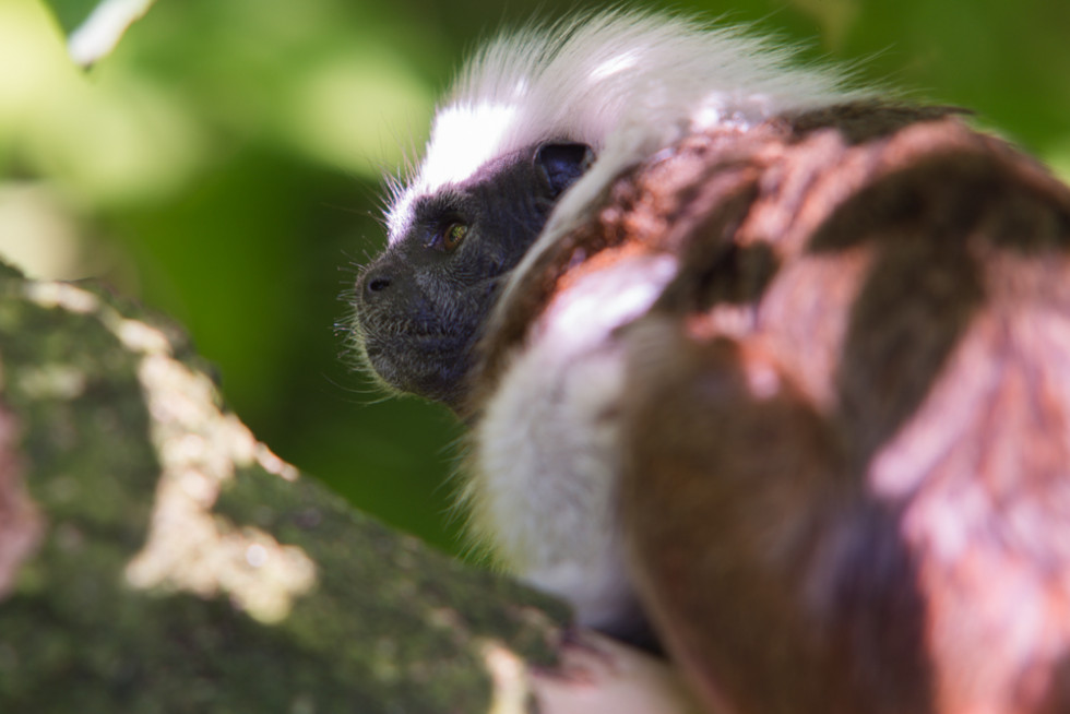 23/52 Cotton Top Tamarin