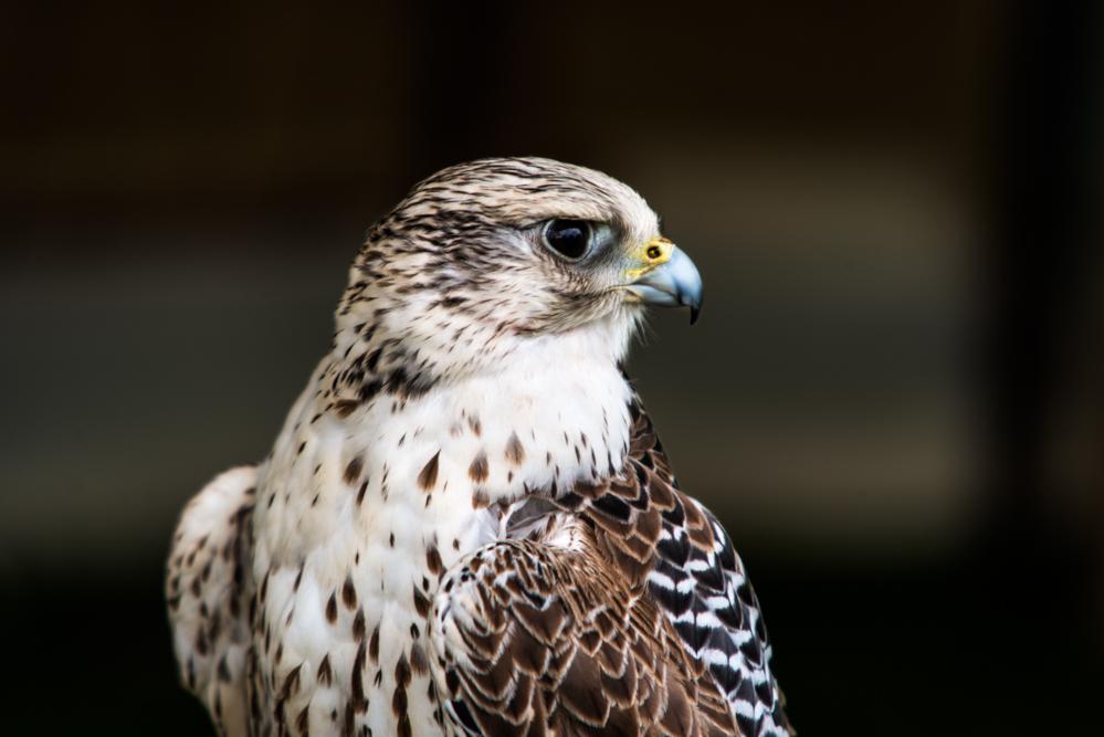 essex birds of prey