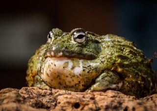 Benny Bullfrog