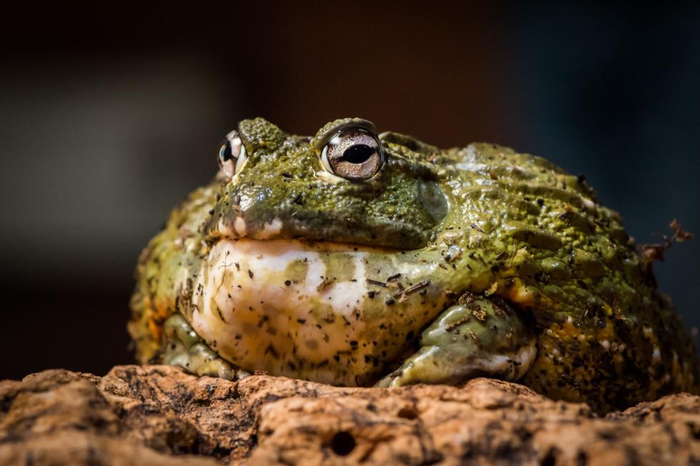 38/52 – Benny Bullfrog