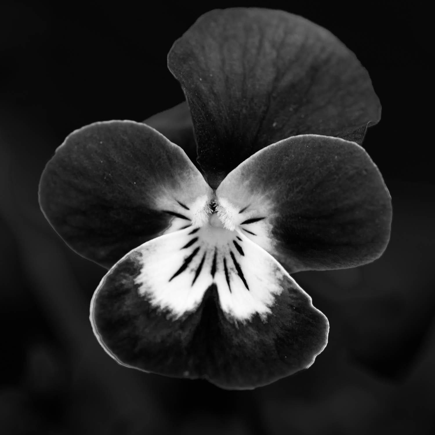 Pansy in Black and White