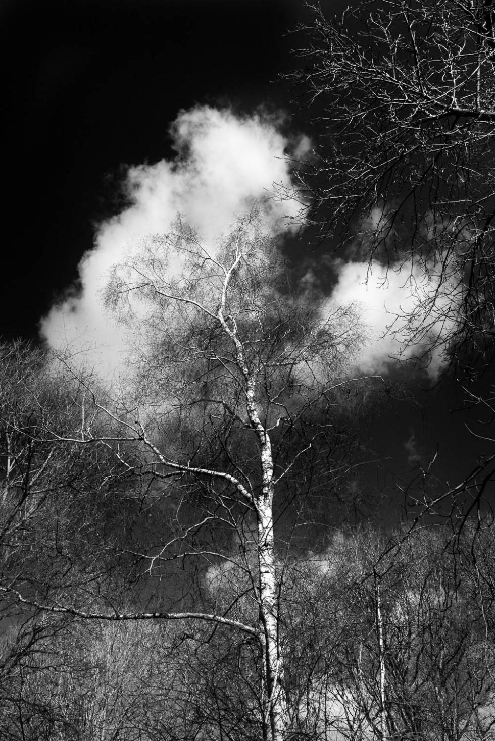 047/365v2 The Silver Birch