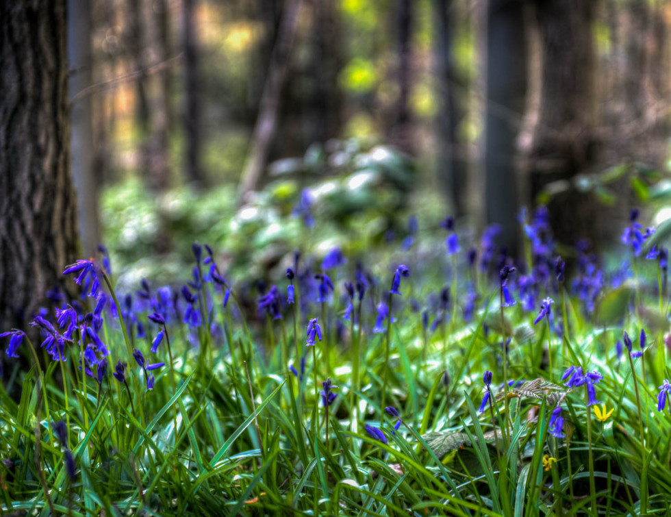 103/365v2 Bluebell Woods