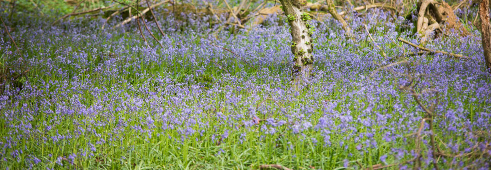 Bluebells at Tilty