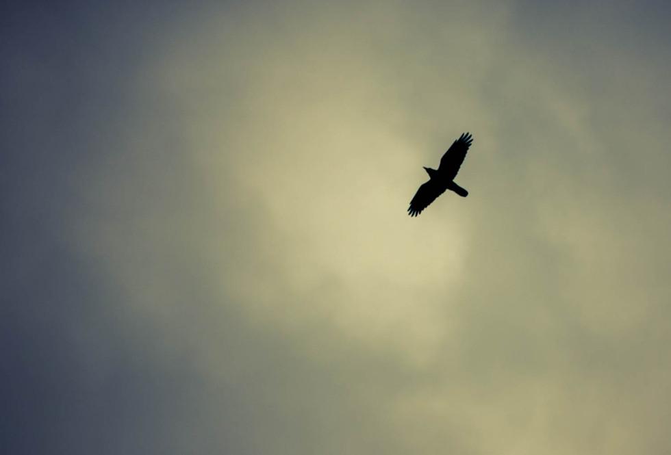 100/365v2 Jackdaw Overhead
