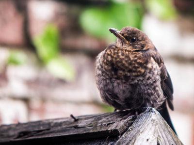 144/365v2 Bashed Up Blackbird