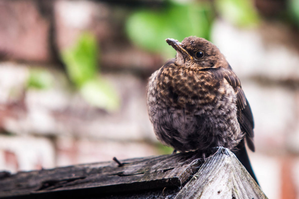 Bashed Up Blackbird