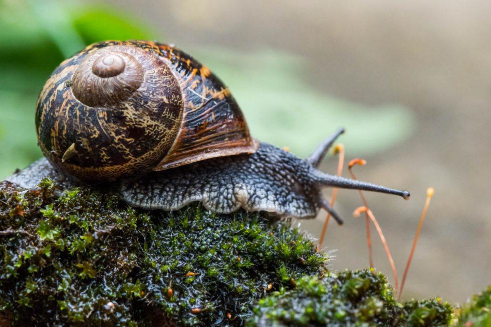 The Garden Snail - Cornu aspersum