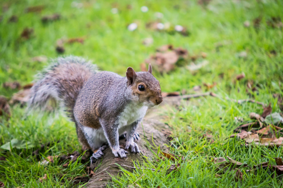 151/365v2 Grey Squirrel (Sciurus carolinensis) in Hatfield Forest.
