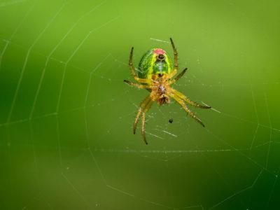 145/365v2 Orb Web Spider Underside (Araneus Cucurbitina)