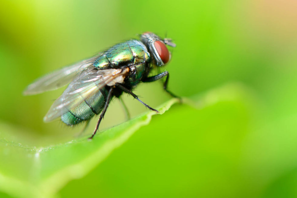 Common green bottle fly (Lucilia sericata)