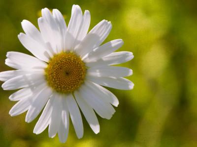156/365v2 Daisy