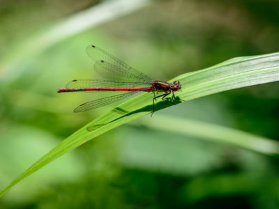 159/365v2 Large Red Damselfly (Pyrrhosoma nymphula)