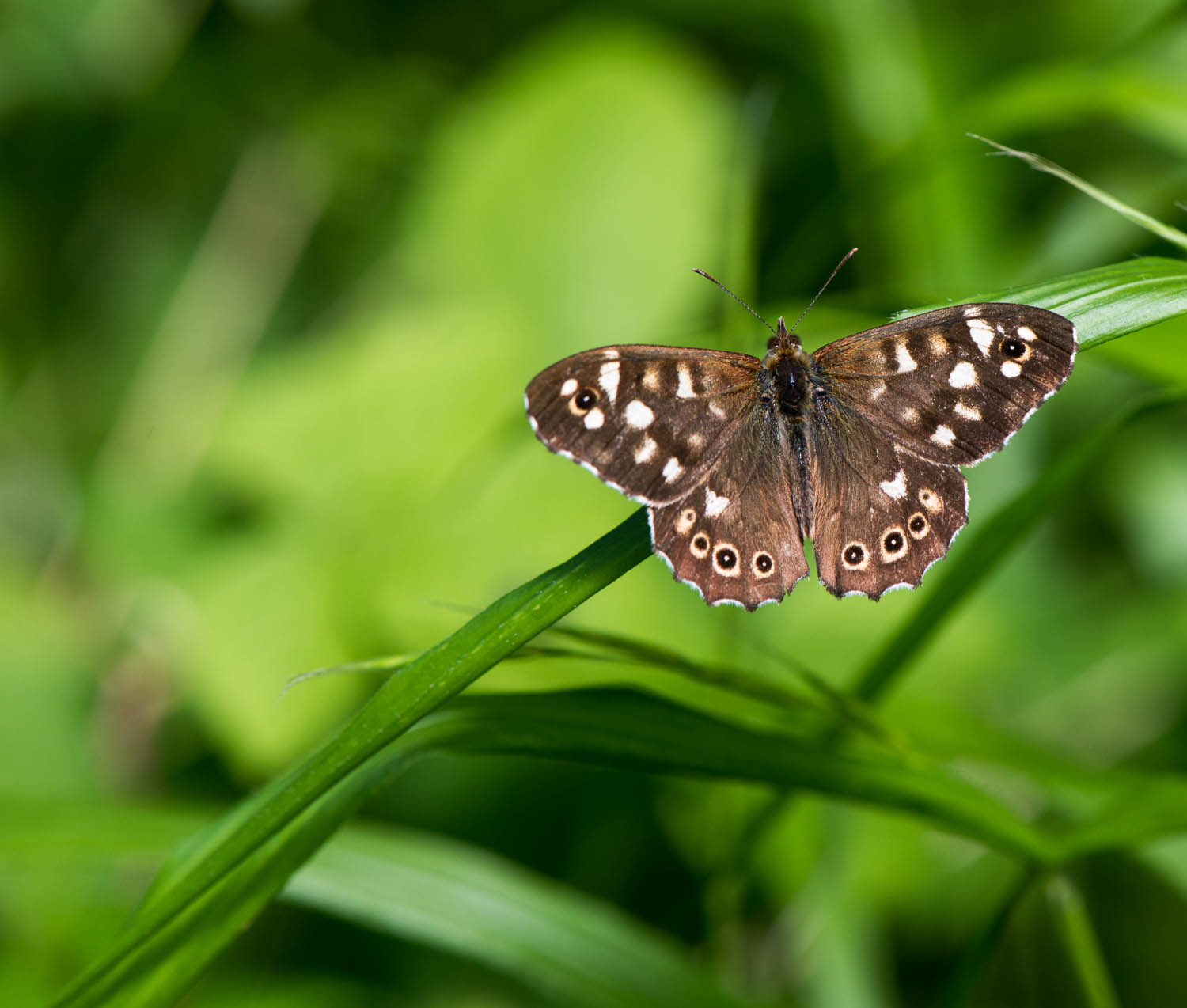 Speckled Wood Butterfly - Pararge aegeria