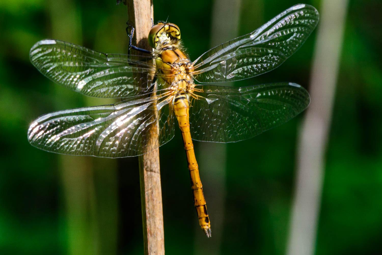 Common Darter Dragonfly (Sympetrum striolatum) Female