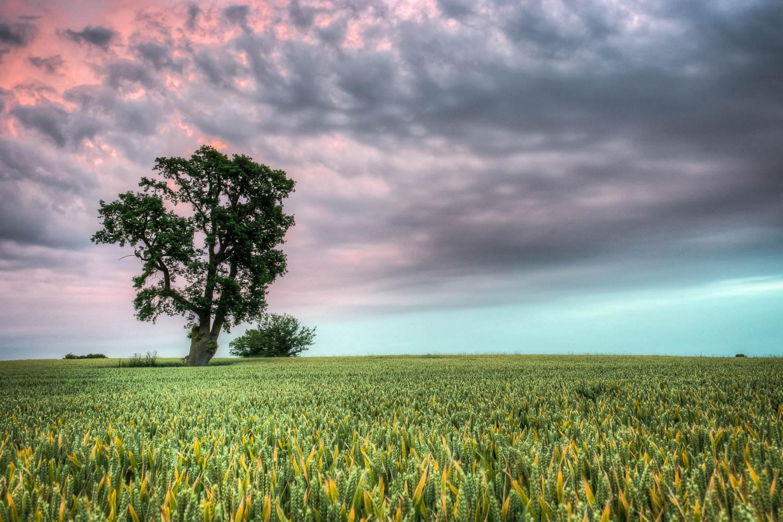 Bigods Lane Tree