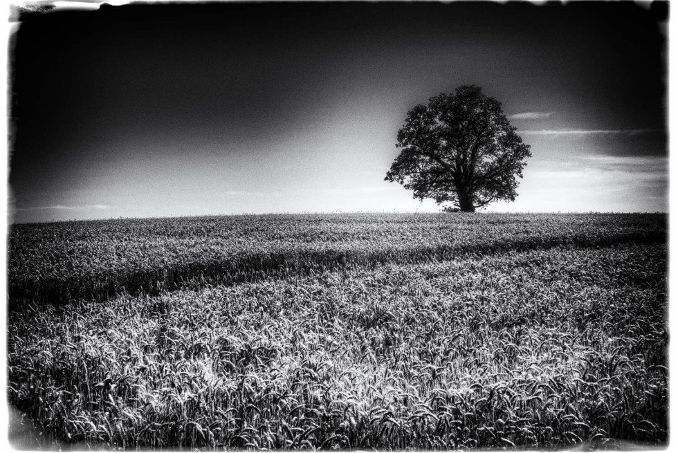 Film Noir Wheat and a Tree