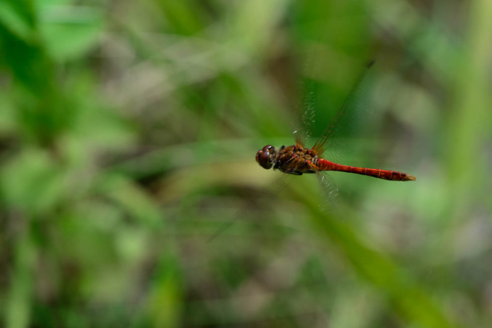 In Flight Dragonfly, Common Darter (Sympetrum striolatum) Male