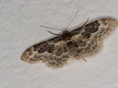 200/365v2 Least Carpet (Idaea vulpinaria) Moth