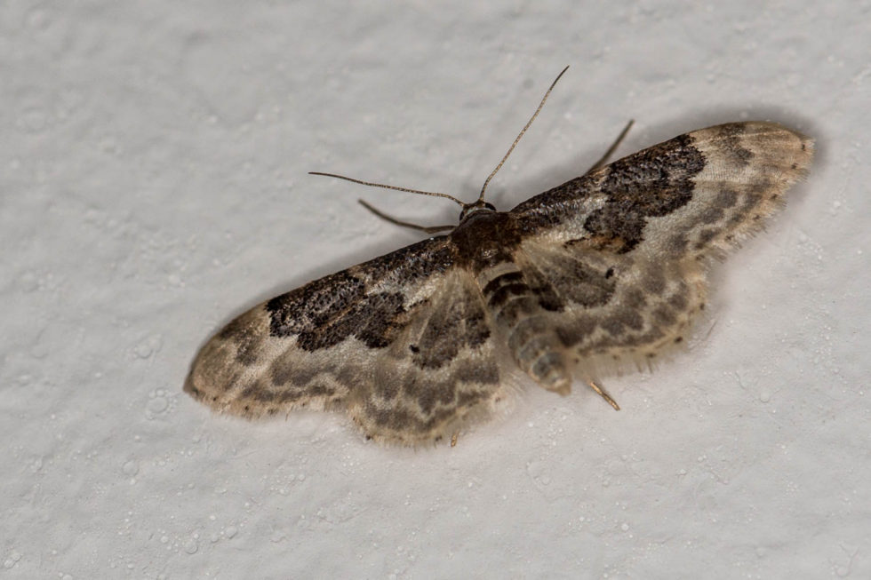 Least Carpet (Idaea vulpinaria) Moth