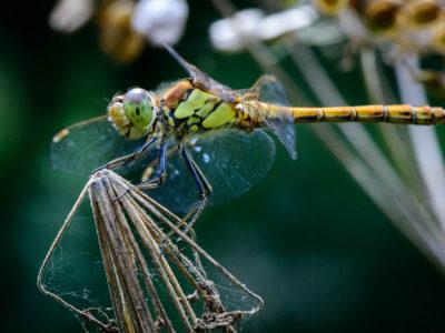 215/365v2 Dragonfly Day