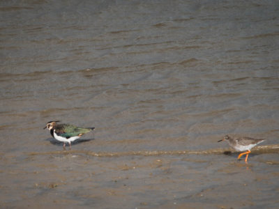 294/365v2 A Lapwing and a Sandpiper