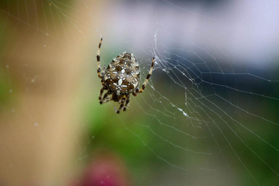 288/365v2 European Garden Spider