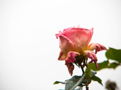 322/365v2 A Good Year for the Roses?